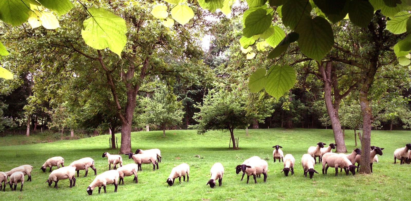 Pâtures et moutons face à l'hôtel des chartroux